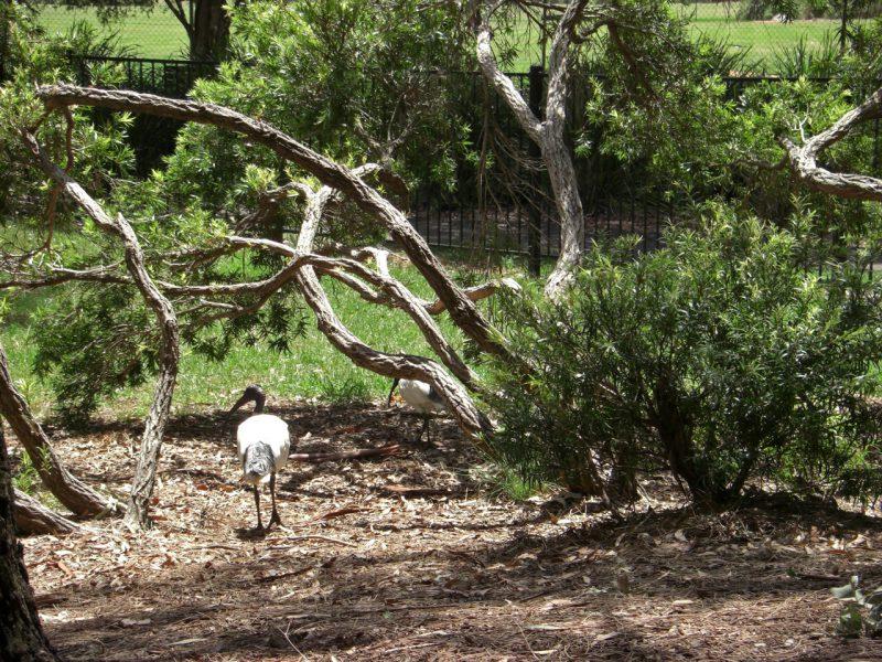 写真:林を悠々と歩く数羽のオーストラリアクロトキ
