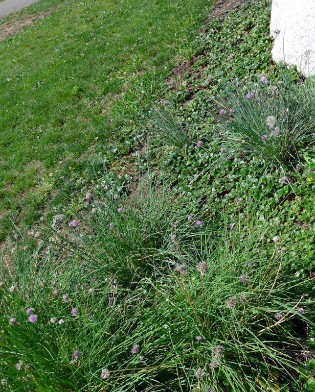 写真:芝地の岩の側に数種類の草花