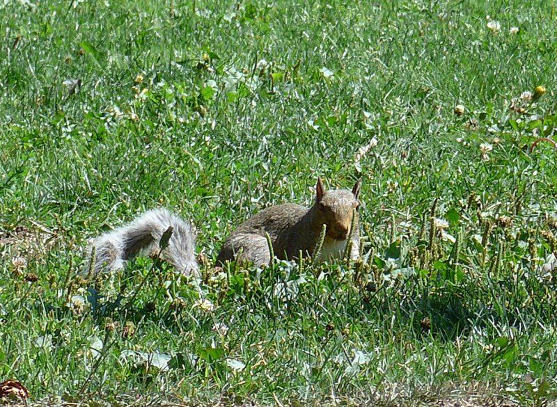 写真:芝生を駆け抜ける途中、立ち止まってこちらを向いたリス
