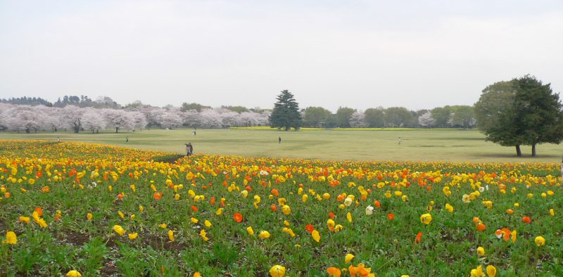 写真:黄色やオレンジ色のポピーの花畑の向こうに広々とした芝生広場。遠くには満開の桜並木