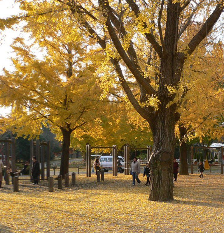 写真:黄色く色づいたイチョウの大木。夕陽が照らす地面はその落ち葉で輝いている
